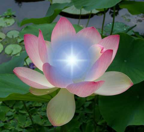 Sacred Lotus, image credit wikimedia